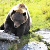 Alaska orsi